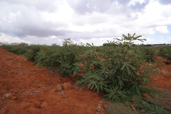 Ronde de Bordeaux trees in South Africa