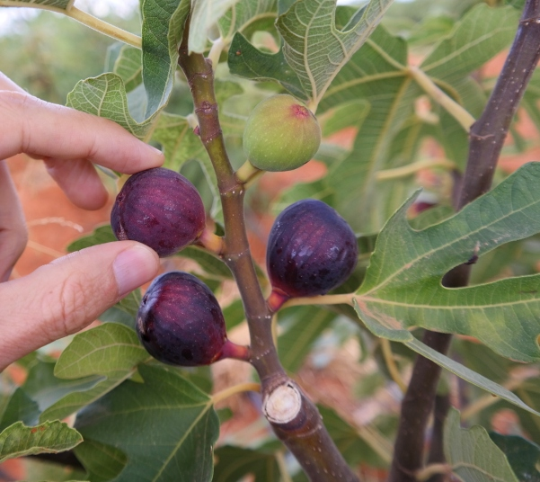 Ronde de Bordeaux figs ready to be harvested.