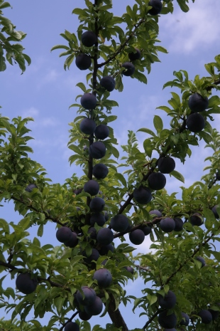 A Queen Garnet fruit tree with an excellent set of fruit.