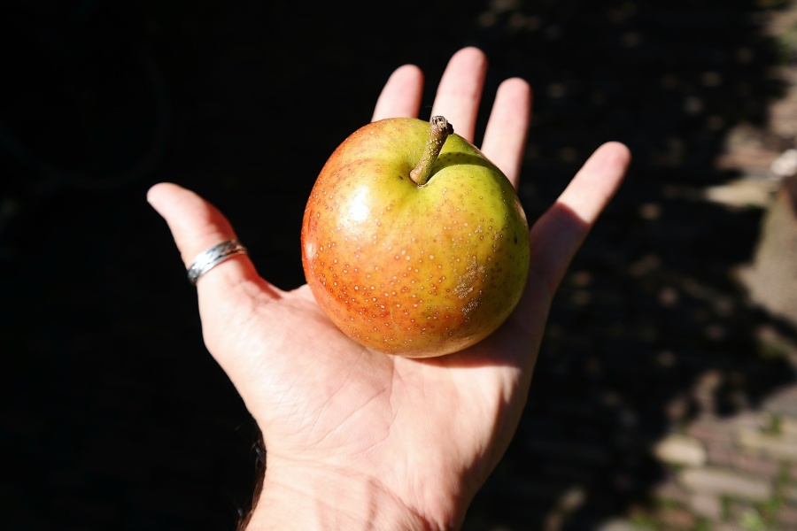 Reddy Robin® typical size of an apple