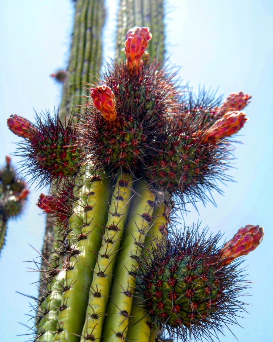 www.avarietyfruits.com Pitaya fruit on cactus.jpg
