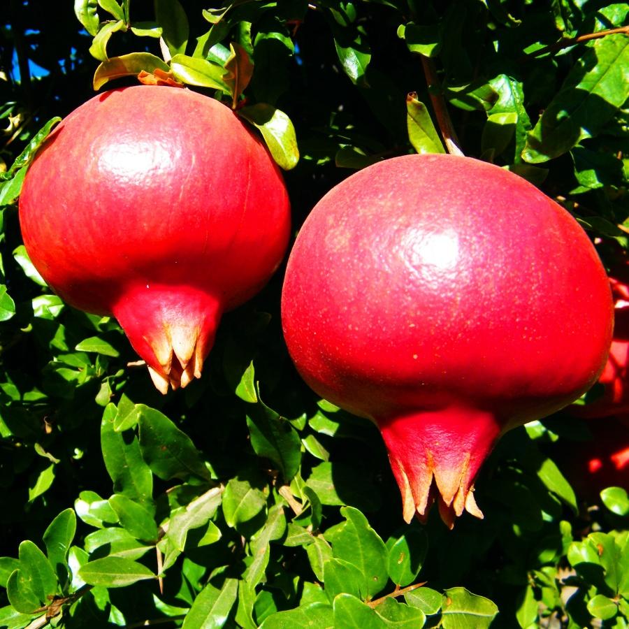 Levin legacy, pomegranata Sogdiana variety.