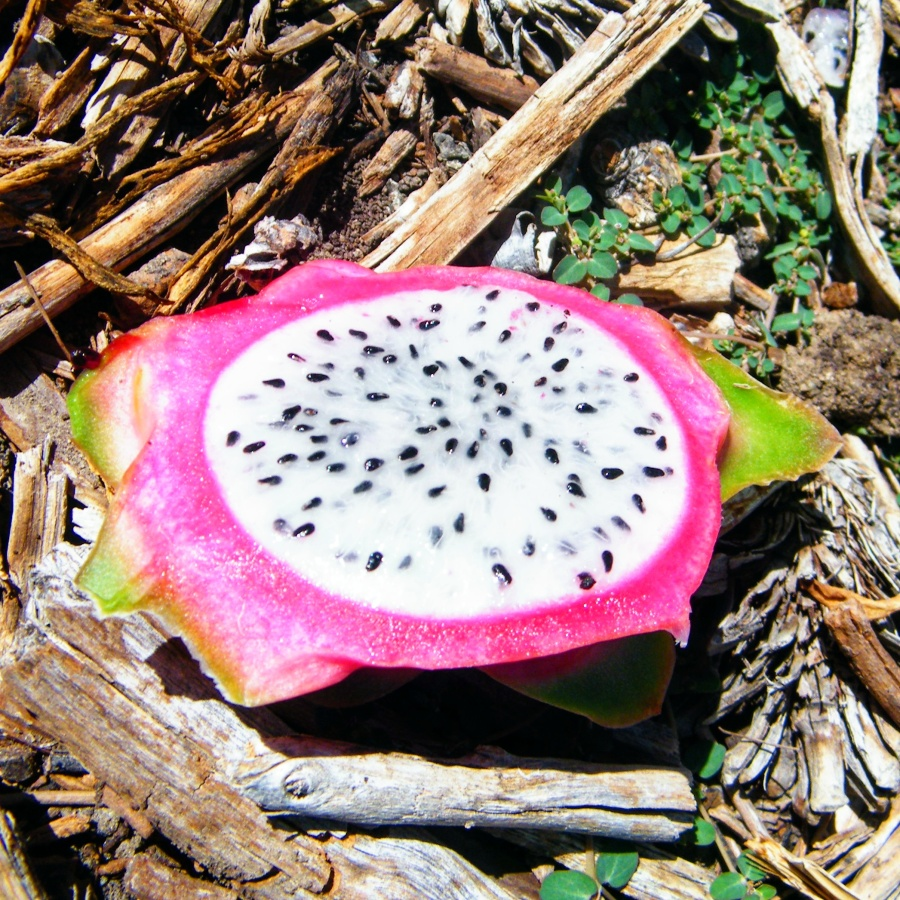 White flesh dragon fruit