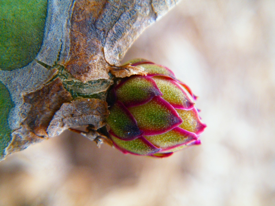 A dragon fruit flower bud