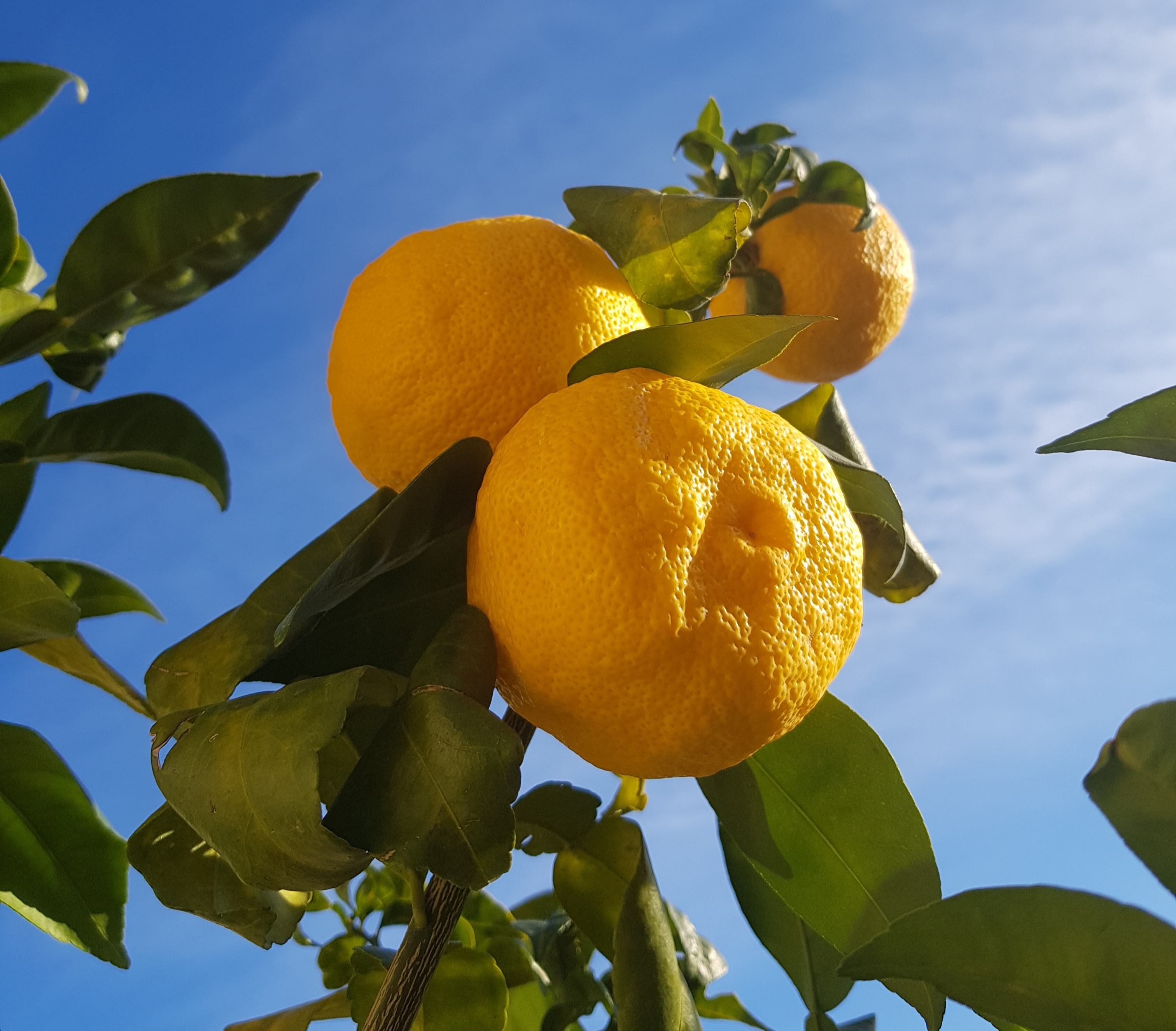 Yuzu fruit growing in Valencia